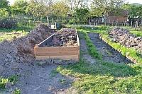 Pestovani zazvoru na zahrade