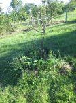 Zelenine a jahodám sa pod stromami darí