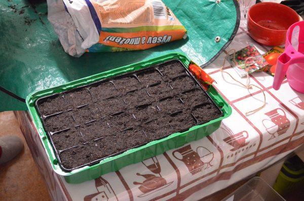 výsev rajčín