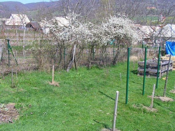 rozkvitnuté trnky
