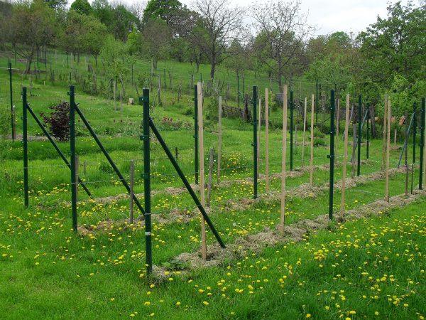 zamulčované jahody vo vinohrade
