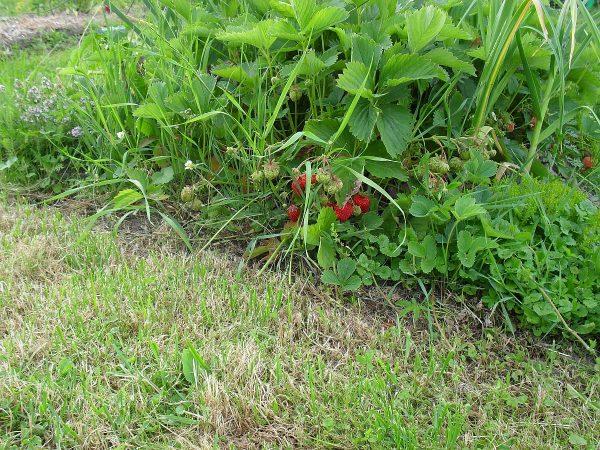 jahody v záhone