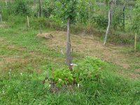 mesačné jahody pod stromom