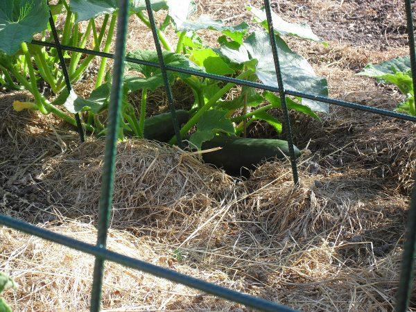 uhorky na záhone