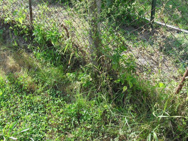 zvyšky žihľavy pri plote sú surovinou