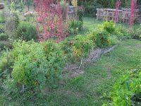 rajčiny na záhone