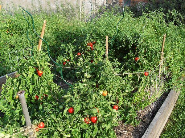 paradajky na vyvýšenom záhone
