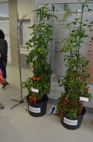 tyčové paradajky
