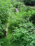 divé paradajky na severnej strane vyvýšených záhonov