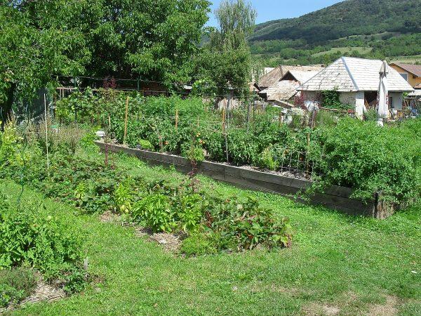 divé paradajky na južnom konci vyvýšených záhonov