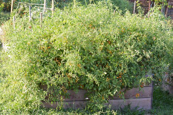 krík divých paradajok obsypaný plodmi