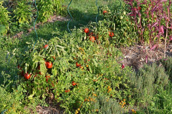 divé paradajky a kríčkové paradajky na záhone