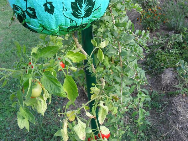 paradajky dolu hlavou